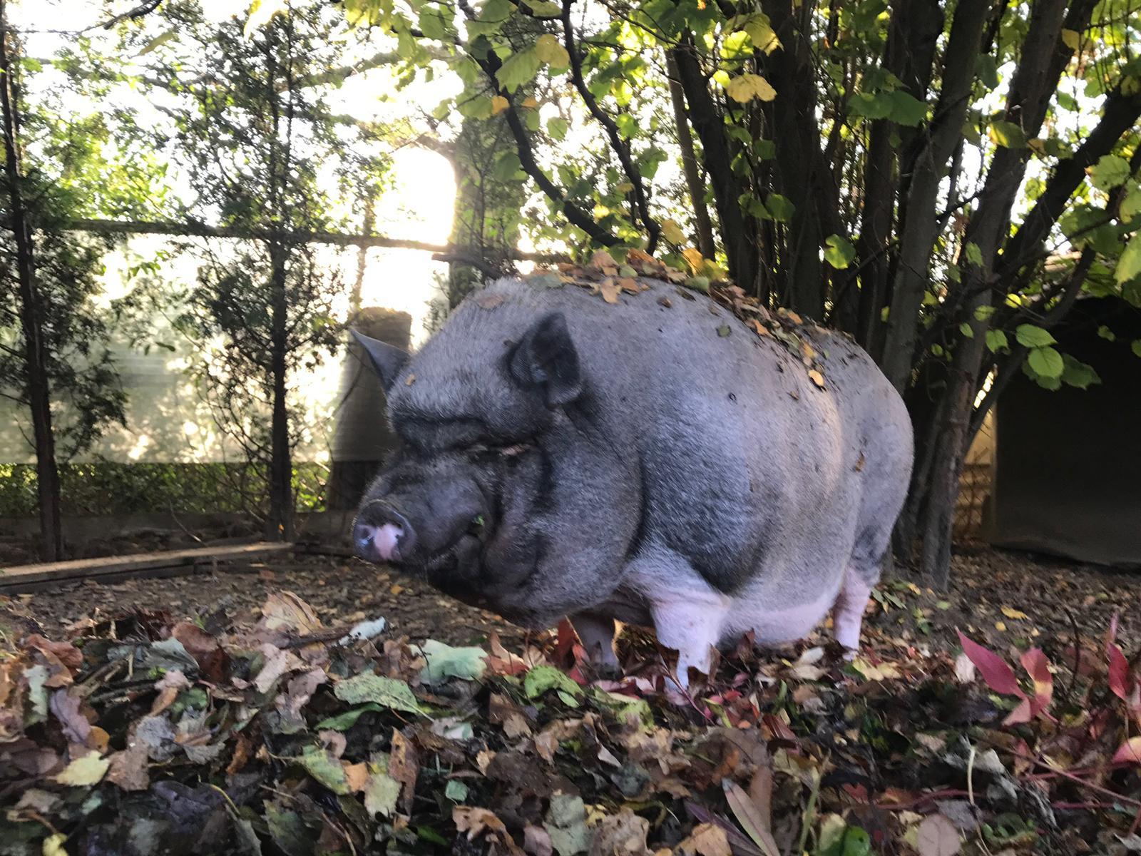 Napoleon Hausschwein Konservenvernichter